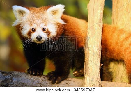 The red panda (Ailurus fulgens) , fire fox or lesser panda, the red bear-cat, and the red cat-bear, portrait in the afternoon light. stock photo