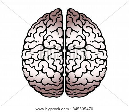 Vector Outline Illustration Of Human Brain On White Background. Cerebral Hemispheres, 