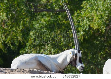 An arabian oryx (Oryx leucoryx)  critically endangered resident of the Arabian Gulf sits on a rock by a tree in the desert sand near a water hole in Al Ain, United Arab Emirates. stock photo