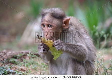 Baby monkey sits eating fruit, Monkeys of South India, cute eats food looking nervously, monkey finds fruit and eats it stock photo