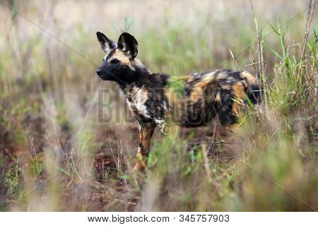 The African wild dog (Lycaon pictus), also known as African hunting or  African painted dog, painted hunting dog or painted wolf, portrait of the adult in tall green and yellow grass. stock photo
