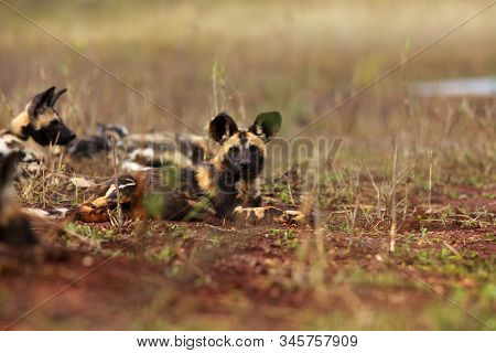 The African wild dog (Lycaon pictus), also known as African hunting or  African painted dog, painted hunting dog or painted wolf.Puppy of an african dog sleeping in the open landscape. stock photo