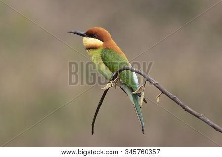 Chestnut-headed bee-eater (Merops leschenaulti) beautiful green with orange head lonely perching on stick in open grass field over blur fine background, fascinated animal stock photo