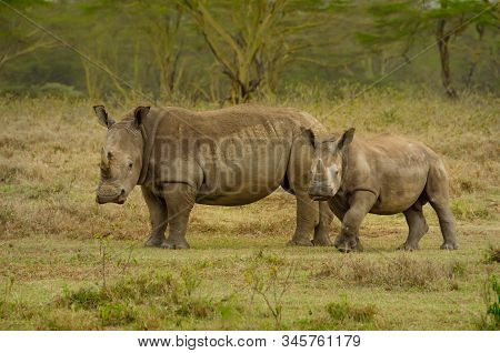 Africa, Kenya, Safari, big rhinoceros with a baby in the jungle, chewing grass. stock photo