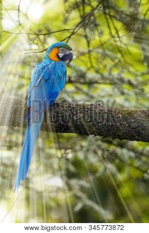The blue-and-yellow macaw (Ara ararauna), also known as the blue-and-gold macaw sotting on the branch with green background and with sun rays. stock photo