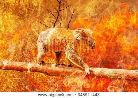 Koala bear on eucalyptus branch escape from australian bushfires in 2019 and 2020. Conceptual: save koala, global warming, natural disaster, climate change. Koala survival at risk. stock photo