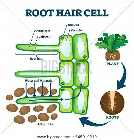Root hair cell collecting mineral nutrients and water from soil, biological labeled plant system diagram. Vector illustration educational cross section scheme. Cytoplasm, nucleus and other elements. stock photo