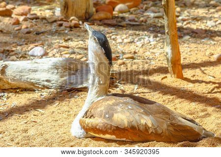 Australian bustard, Ardeotis australis, a large ground dwelling bird sitting on a ground also called plains turkey or bush turkey. Desert Park at Alice Springs in Northern Territory, Australia. stock photo