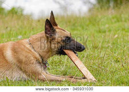 Young Belgian Shepherd dog chewing on a piece of wood stock photo