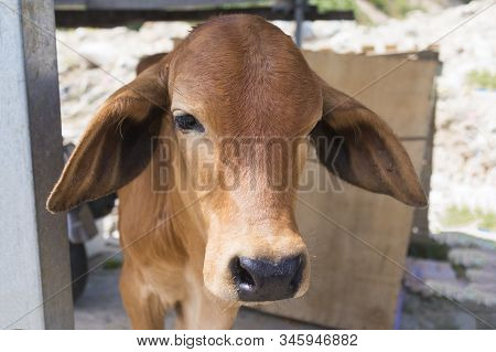 Sad cute upset lonely calf, young bull outdoors. Frustrated animal. Animal rights. Protest against animal abuse, stop killing. Go vegan. Poor animal do not want to go to slaughter stock photo