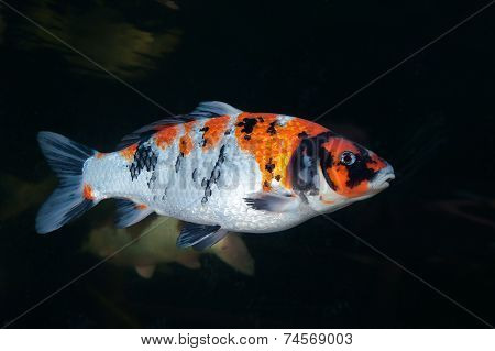 Different colorful koi fishes swimming in aquarium stock photo