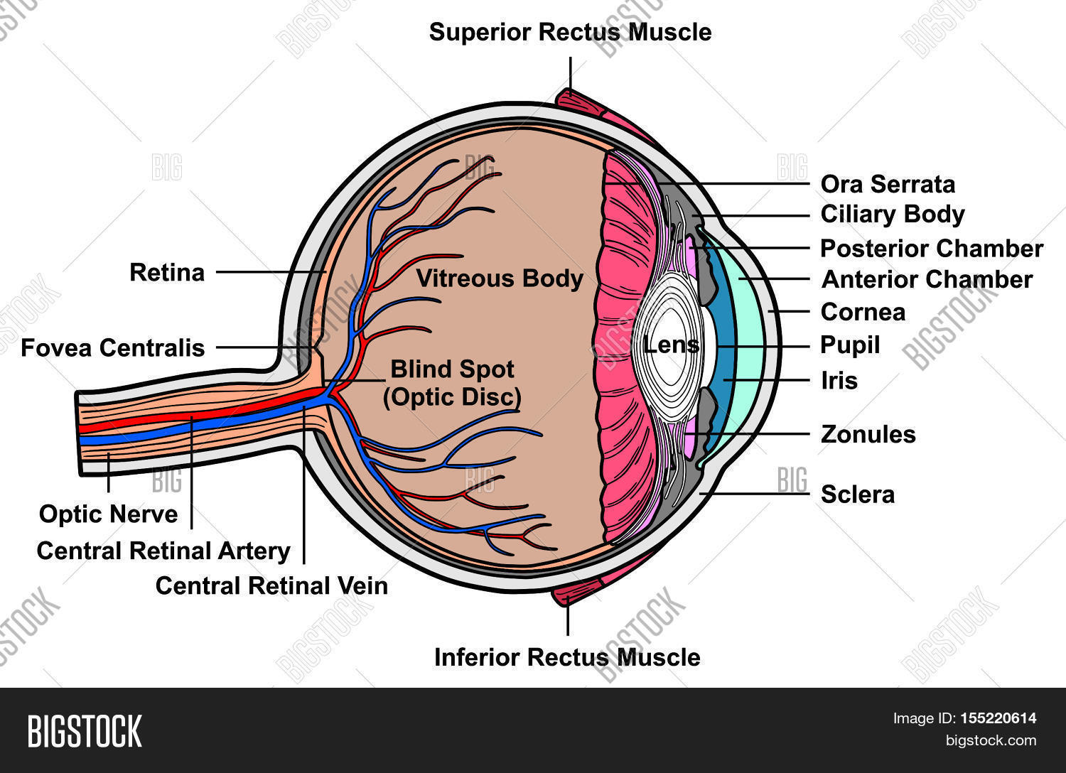 Human Eye Cross Section Anatomy With All Parts Anatomical