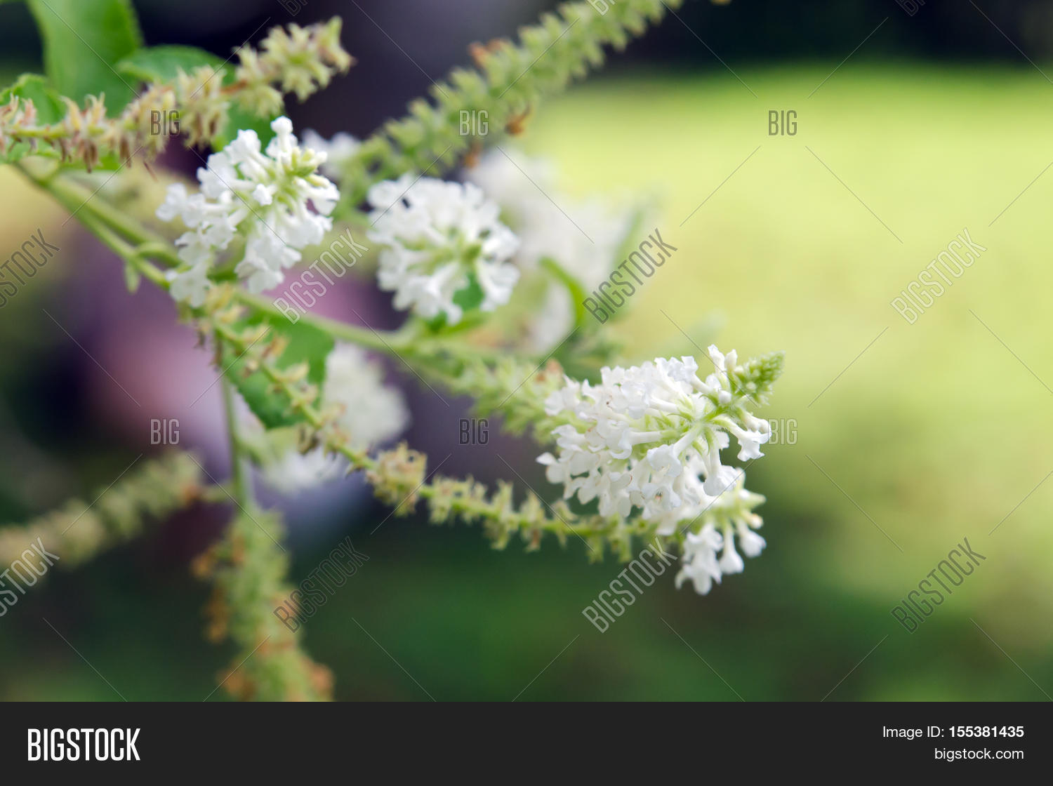 Butterfly Bush White Flower With Blurred Background Photo Stock