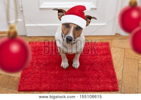 jack russell dog waiting a the door at home with leather leash ready to go for a walk with his owner for christmas ot xmas holidays with red santa claus hat stock photo