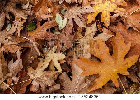 Brown leaf litter from a bigleaf maple (Acer macrophyllum) scattered on the ground stock photo