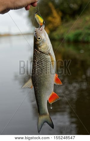 Chub with plastic bait in mouth, lure is of a noname firm, design altered in graphic editor stock photo