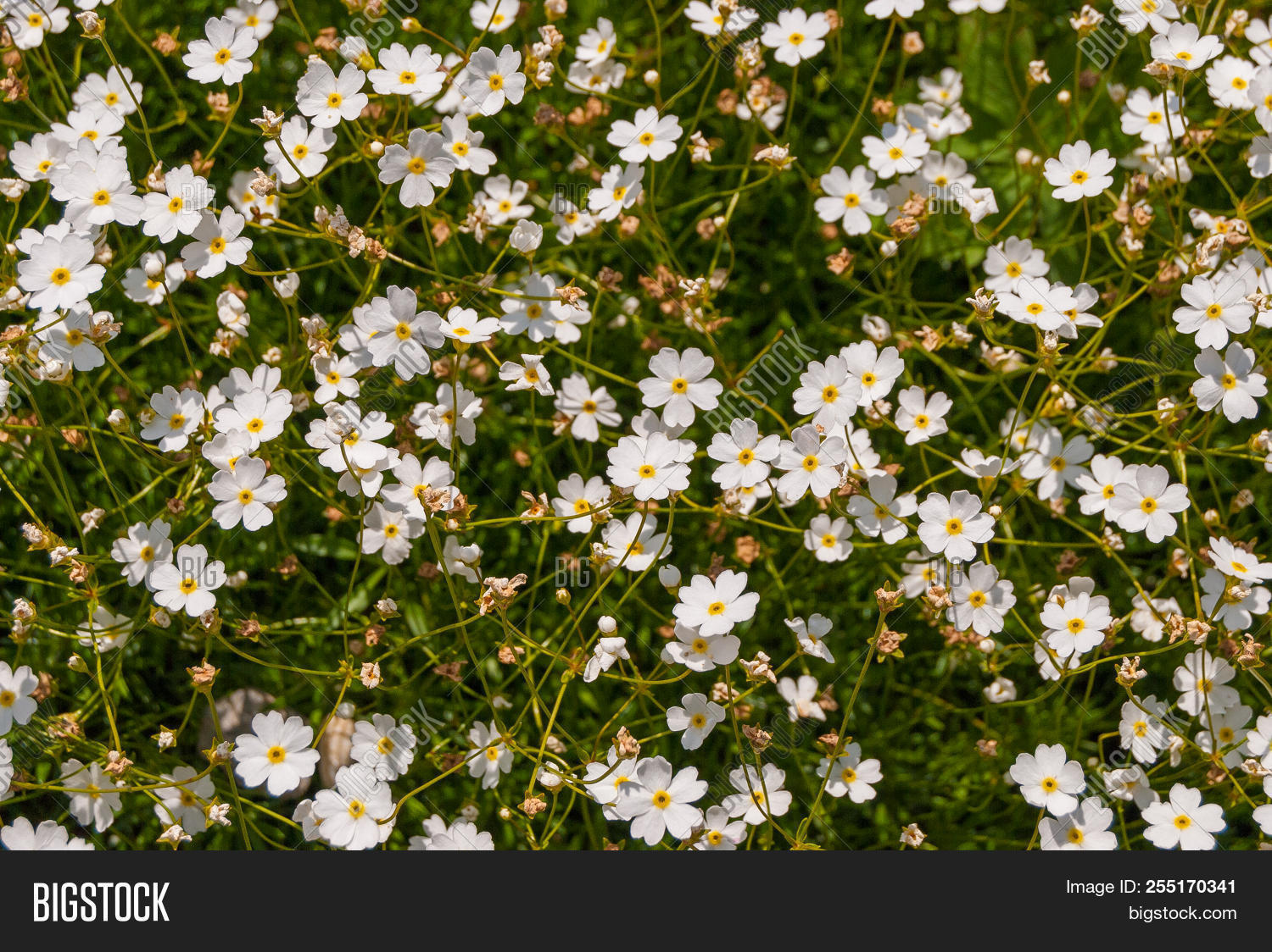 Androsace Lactea White Alpine Flowers In The Mountains Of