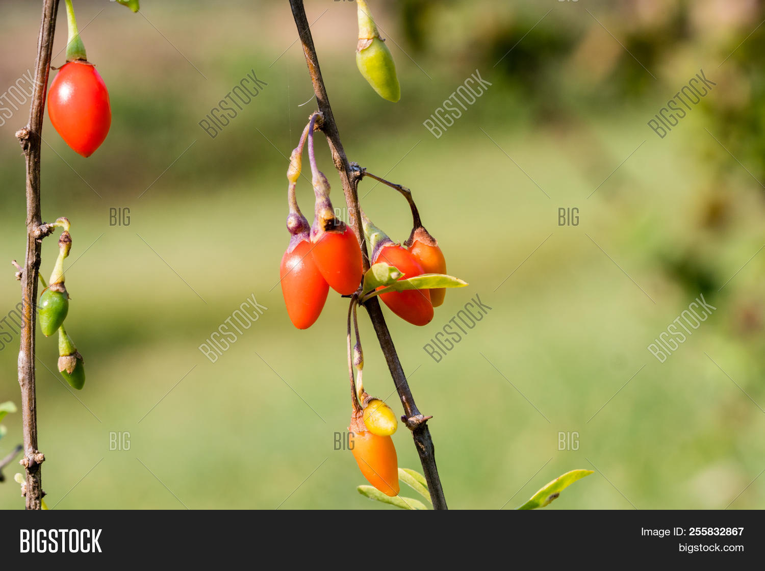 Goji Berry Or Wolfberry Ripe Berries On The Branch Closeup
