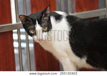 Siamese cat is the Thai domestic cat, very cute and smart pet in house, beautiful black & white cat stock photo