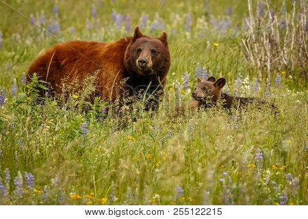Mama bear with her cubs in Waterton Lakes NP, Canada stock photo