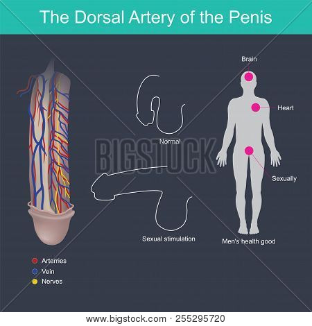 The penis will harden when stimulated from the brain and blood pressure from the heart. stock photo