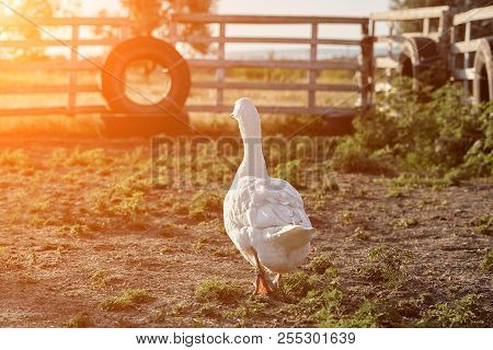 White Goose enjoying for walking in garden. Domestic goose. Goose farm. Home goose. Sun flare stock photo