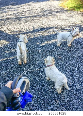 Hand holding tangled retractable leashes with three cute west highland white terrier westie dogs on rural gravel lane with copy space stock photo