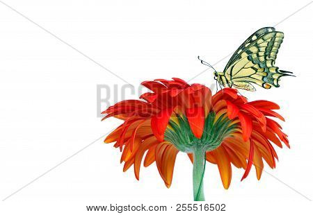 Butterfly on a flower isolated on white. Gerbera flower. Swallowtail butterfly, Papilio machaon. stock photo
