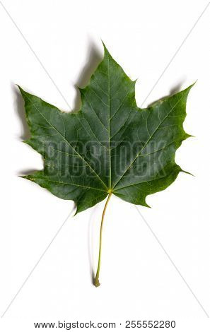 autumn fallen maple leave isolated on white background, cut out with clipping path stock photo