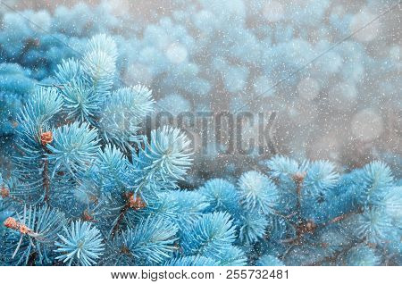Winter Landscape. Blue Pine Tree Branches Under Winter Snowfall, Closeup Of Winter Nature, Free Spac