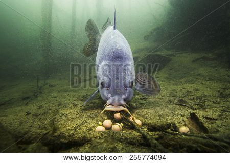 Freshwater fish carp (Cyprinus carpio) feeding with boilie in the beautiful clean pound. Underwater shot in the lake. Wild life animal. Carp in the nature habitat with nice background. stock photo