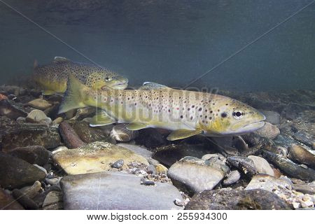 Brown trout (Salmo trutta) preparing for spawning in small creek. Beautiful salmonid fish in close up photo. Underwater photography in wild nature. Mountain creek habitat. stock photo