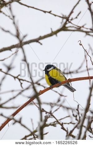 Beautiful Small Bird Great Tit In Winter-Lg Fridge Magnet Skin (size 36x65)