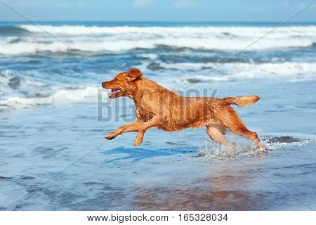 Photo of golden retriever walking on sand beach. Happy dog wet after swimming run with water splashes along sea surf. Actions training games with family pets and popular dog breeds on summer vacation