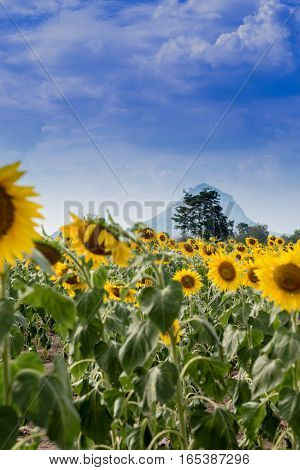 Summer Sunflower Field. Field Of Sunflowers With Blue Sky. A Sunflower Field At Sunset..-Lg Fridge Magnet Skin (size 36x65)