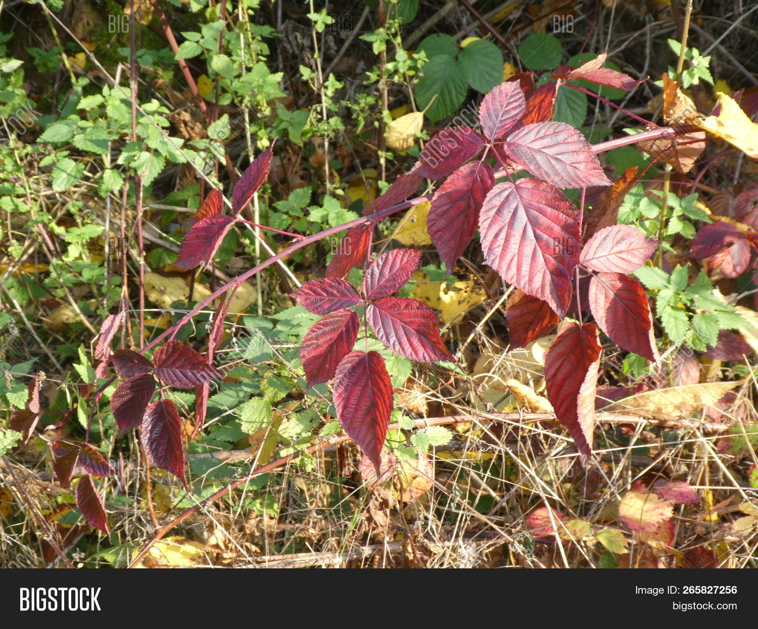 red leaves of a brambleberry bush in the forest in autumn