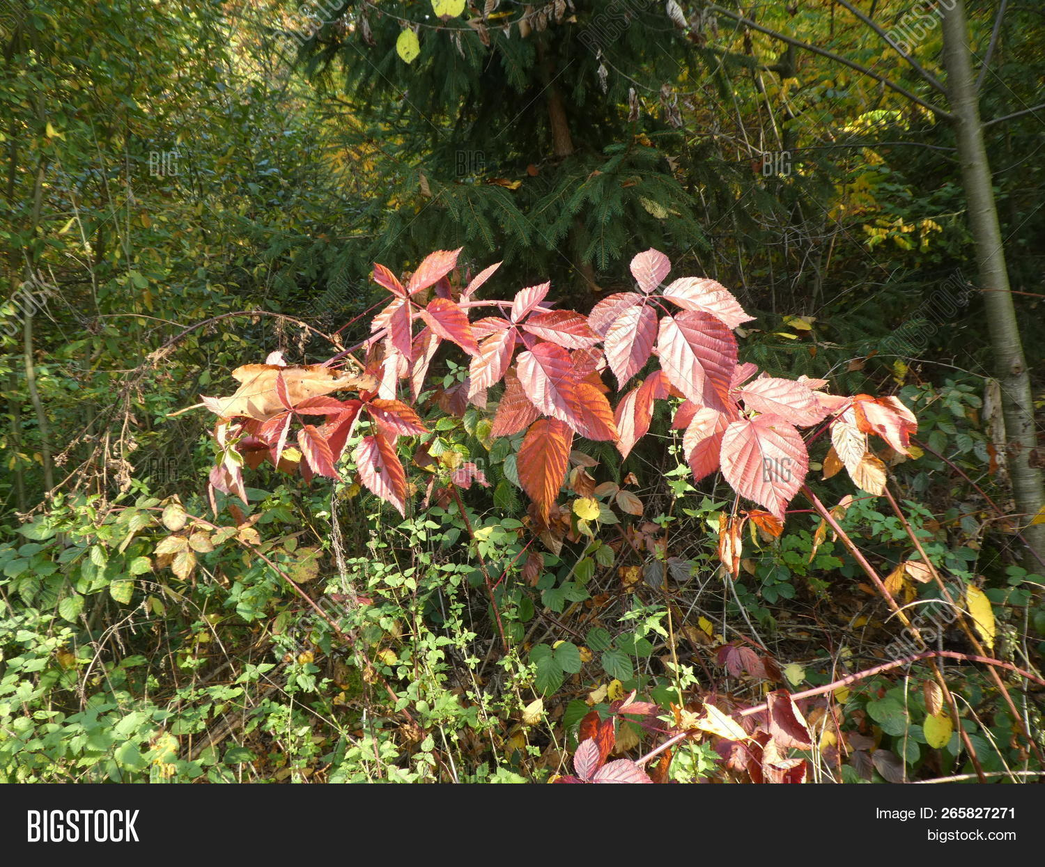 autumn,brambleberry,bush,forest,leaves,nature,red,wild