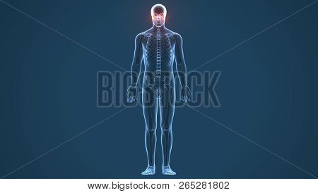 3D illustration of Mandible - Part of Human Skeleton. stock photo