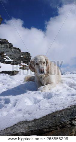 cute labrador dog taking a break on a snowy winter mountain peak in the Swiss Alps stock photo