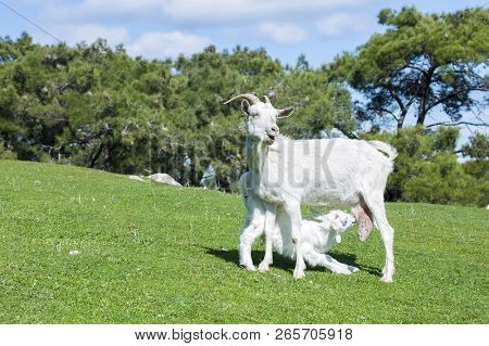 Airstock is - Mother Goat And Baby Goat In Nature, Goat
