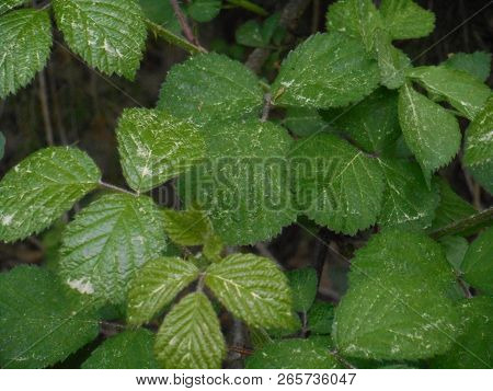 Fresh green leaves of a brambleberry bush in the forest with yellow pollen in spring stock photo