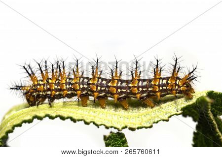 Caterpillar of yellow coster butterfly ( Acraea issoria ) resting on host plant leaf stock photo