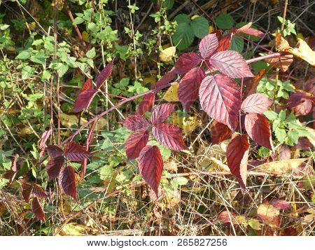 red leaves of a brambleberry bush in the forest in autumn stock photo