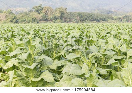 Field Nicotiana tabacum the Common tobacco is an annually-growing herbaceous plant stock photo