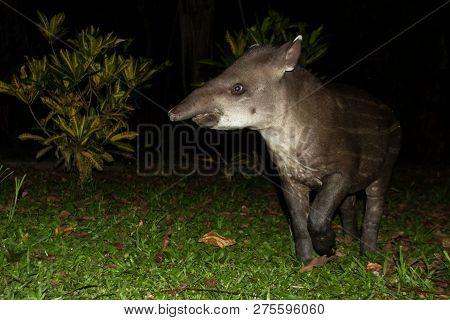 South American tapir (Tapirus terrestris) in natural habitat during night, cute baby animal with stripes, portrait of rare animal from Peru, amazonia, wildlife scene stock photo