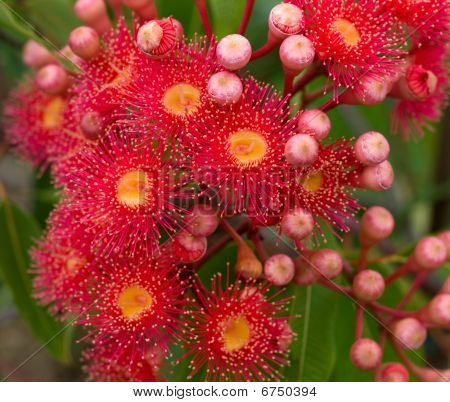 red flowers gum tree eucalyptus phytocarpa hybrid australian native with buds and foliage stock photo