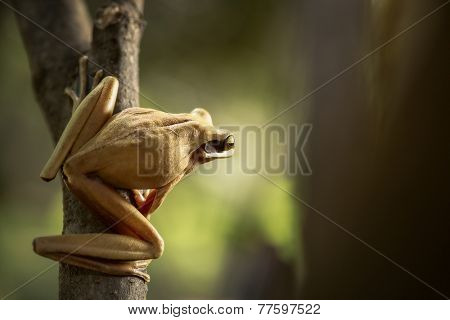 tree frog ready to jump into the Amazon rain forest of Peru. Hypsiboas lanciformis a tropical amphibian of the rainforest stock photo