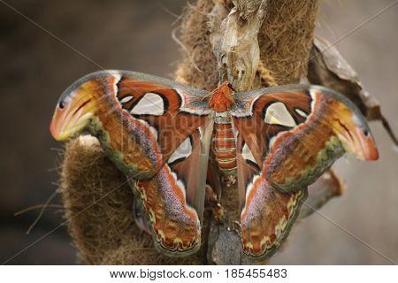 Attacus atlas (Atlas moth) a large saturniid. stock photo
