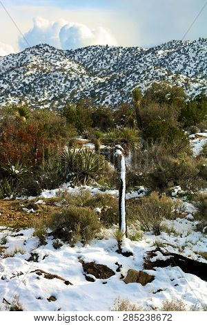 Joshua Trees amongst chaparral shrubs and Juniper Trees surrounded by snow taken on an arid plain in the higher elevations of the Mojave Desert, CA stock photo