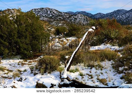 Joshua Tree covered in snow surrounded by chaparral shrubs taken on an arid plain at the higher elevations of the Mojave Desert in Joshua Tree National Park, CA stock photo